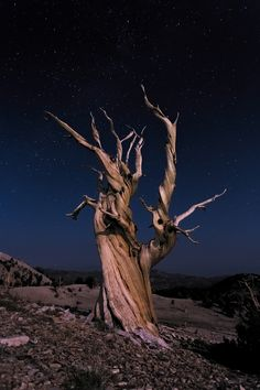 https://flic.kr/p/A68t22 | Ancient Bristle Cone Pine | An ancient bristle cone pine illuminated by natural moonlight. This particular tree was located on the slopes near the Patriarch Grove.