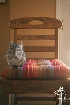 Stickshift the Chinzilla (chinchilla) posing perfectly on a chair with some treats.