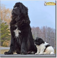 Newfoundland Dogs are water rescue dogs known around the world for their courage, strength and above all else their gentle nature. Our Georgia epitomizes the Newfoundland dog: she is super strong but extremely gentle. They are possibly the most gentle and loving dog breed there is. They are exceptional with Little children and will put themselves in harm's way to protect the helpless. She is like a 120-pound (54 kg) Butterfly.      Yes, our Gerogia is, despite her size, as gentle as a ...