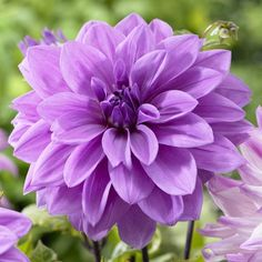 Decorative Dahlia, 'Lilac Time'