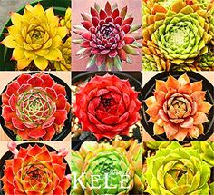 11/18/2016 -- Best-Selling!Home Garden Plant 10 Seeds Rare. Only $5.19! :)