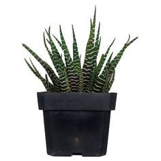 Zebra Haworthia Fasciata - Aloe Succulent Plant ($7) ❤ liked on Polyvore featuring home, home decor, floral decor, plants, fillers, other, decor, nature, zebra home decor and square plastic container