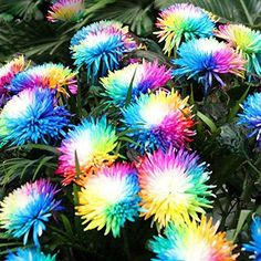 Rainbow Chrysanthemum Seeds, Easy Grow Colorful Miniature Tree Flower for sale online Garden Seeds, Planting Seeds, Planting Flowers, Livingstone, Aster, Home Garden Plants, Home And Garden, Partial Shade Plants, Full Sun Plants