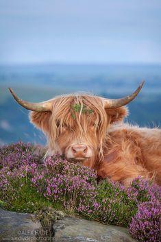Highland cow in heather on Curbar Edge, Peak District National Park, Derbyshire.