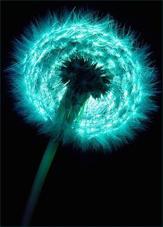 dandelion before the wind. I love dandelions and turquoise so its a perfect fit! Shades Of Turquoise, Shades Of Blue, Teal Blue, Fifty Shades, Foto Macro, Dandelion Wish, Dandelion Nursery, Dandelion Seeds, Dandelion Clock