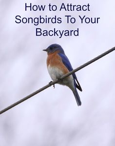 Song birds in the springtime can create some instant ambiance to your garden and yard. Attracting so Bird House Kits, Bird Aviary, How To Attract Birds, Bird Food, Backyard Birds, Wild Birds, Bird Watching, Beautiful Birds, Animals Beautiful