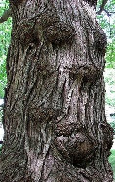 We can see a lot in the shapes of trees, especially the formations their bark takes.