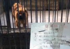 A Chinese Zoo Tried To Pass Off This Huge, Fluffy Dog As A Lion