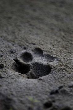 Florida panther paw print.