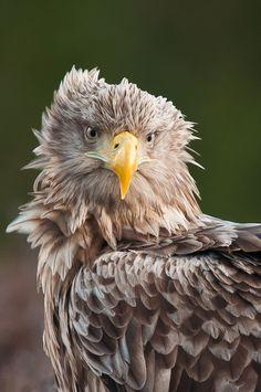 White-tailed Eagle II by Geir Magne Sætre, via 500px