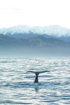 New Zealand Travel Inspiration - Sperm whale, Kaikoura, Canterbury, South Island, New Zealand