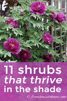 These shade loving shrubs are perfect for planting under trees in your yard. There are varieties that bloom in early spring, summer, fall and winter. Something for every garden! #fromhousetohome #shrubs #gardenideas #shadegarden  #shadelovingshrubs #shadeplants #gardening