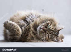 long haired cat of siberian breed lying in relax