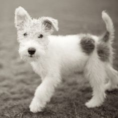 Frankie, Wire Fox Terrier, Zilker Park, Austin, TX//the dogist Animals And Pets, Baby Animals, Cute Animals, Strange Animals, Beautiful Dogs, Animals Beautiful, Cute Puppies, Dogs And Puppies, Chien Fox Terrier