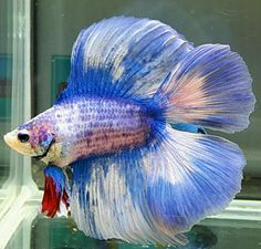 fwbettasdt1456540807 - DT BLUE WHITE ARGENTINA