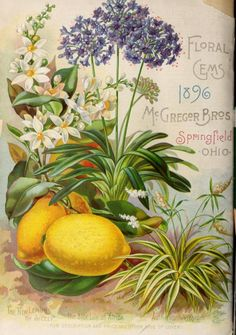 Back cover of McGregor Bros 'Floral Gems For 1896' with an illustration  of 'The New Lemon of Sicely, The Blue Lily of Africa and Authericum Vitatum.'
