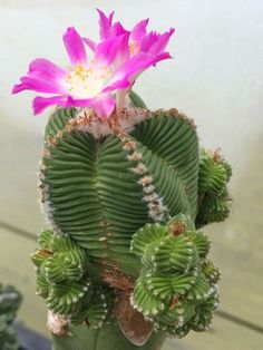 When you have identified your cactus type, you have to create the most suitable atmosphere for it. An assortment of cactus house plants appear good together. There are several different kinds of cactus combo bonsai plants. Kinds Of Cactus, Small Cactus, Cactus Flower, Flower Art, Cacti And Succulents, Planting Succulents, Succulent Planters, Succulent Arrangements, Hanging Planters