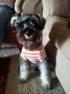 My adorable schnauzer rocky needs new clothes! Lol he's growing so fast but still looking good;)