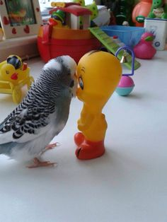budgie (Re-pinned from Birds on Pinterest.)