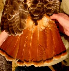 Red Tail Hawk Feathers | Red-tailed hawk tail feathers