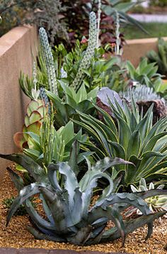 Bold, beautiful, low-water and low maintenance succulent plants for front yard landscape.
