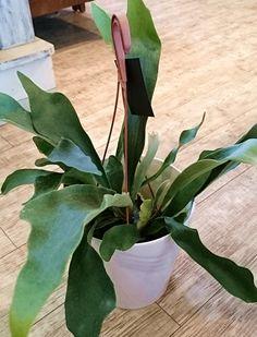 今、最も注目を集めているコウモリラン。インテリアグリーンとして新しい観葉植物をご提案❢❢