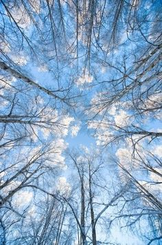Looking up through hoarfrost covered birch trees in Russian Jack Park, Anchorage, Alaska Art Print