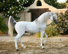 Grey Arabian.