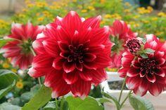 Chị em mê mẩn trồng hoa thược dược nhiều màu đón Tết - Hình 10