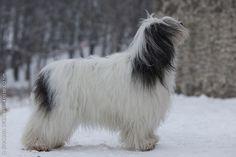 Polish Lowland Sheepdog.