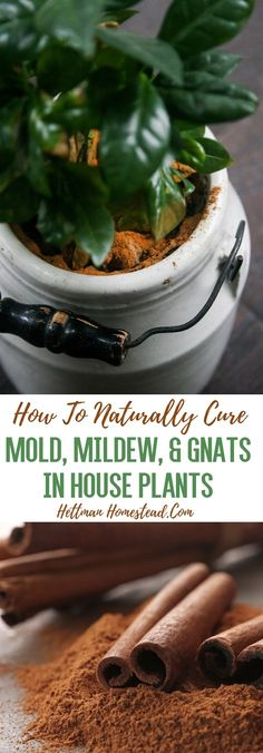 How to naturally get rid of gnats, mold, and mildew in house plants! -Hettman Homestead