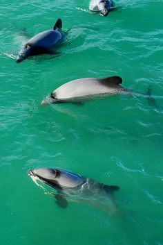 Hector's Dolphins, New Zealand's only endemic cetacean. It's Conservation Status is Endangered Hector Dolphin, Water Animals, Wale, Water Life, Ocean Creatures, Underwater World, Sea World, Ocean Life, Whales