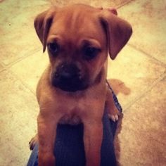 Pug Boxer Mix! Our next dog type suppose to be getting one like this in may :)