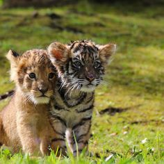 Post with 12566 views. Cute Lion and Tiger Cubs Baby Animals Pictures, Cute Animal Pictures, Animals And Pets, Funny Animals, Wild Animals, Baby Tigers, Cute Tigers, Tiger Cubs, Tiger Tiger