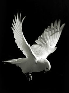 white dove #cute #allwhite #<3