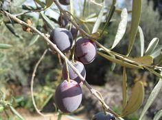 Selección de árboles frutales de hoja perenne para tu jardín - http://www.jardineriaon.com/seleccion-de-arboles-frutales-de-hoja-perenne-para-tu-jardin.html