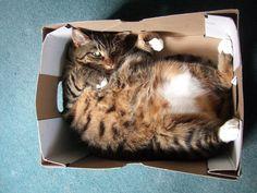 Por que os gatos amam caixas?