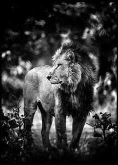 Contemplative Lion - Laurent Baheux