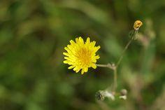 Flower yellow green amarillo verde flores primavera minimalismo