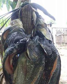 #Jaraguenses disfrutan #tilapias fritas pero con resaca prefieren caldo en coco.