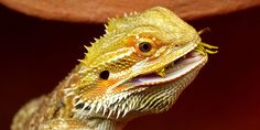 Licking behaviour in Bearded dragons
