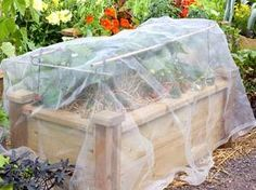 Nylon netting covering raised bed of strawberry plants, protecting against bird attack