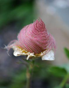 Prairie smoke flower. So gorgeous!!