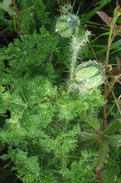 Bull Nettle. What: seeds, taproot. How: seeds raw, roasted; root baked. Where: sunny fields. When: summer, fall. Nutritional Value: protein, calories