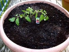 This tomato transplant is planted deeply in the container.