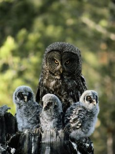 Great Gray Owl and babies