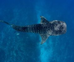 The largest fish in the world is the graceful harmless whale shark. Whale sharks…