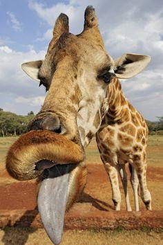 begging giraffe. lol!