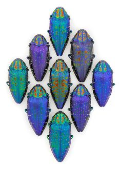 Gemma.  One of the most lustrous beetles in the world is also one of the most variable, with each color form more striking than the last.  The elytra of the Madagascan Polybothris sumptuosa gemma features hues from the deepest blue to violet to teal to blood red while the pronotum exhibits raised markings that shine like a lava flow on contrasting sapphire.