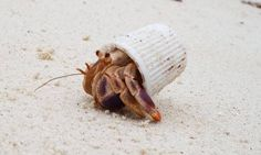"""The hermit crab forced to live in a toothpaste cap: Heartbreaking image shows the harsh reality of Earth's plastic pollution. Cute Funny Animals, Funny Animal Pictures, Funny Cute, Hilarious, Funny Memes, Meme Pictures, Animal Pics, Super Funny, Funny Pics"